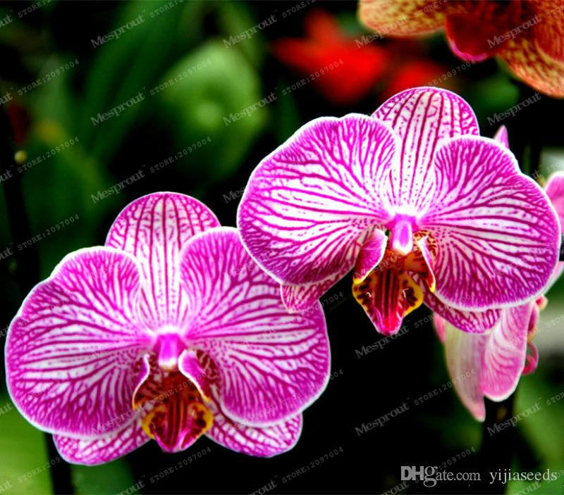 Hot Sale!9 Varieties Phalaenopsis Seeds Perennial Flowering Plants Potted Charming orchid Flowers Seed,/bag,#44LI74