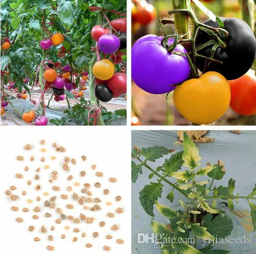 /bag rainbow tomato seeds, rare tomato seeds, bonsai organic vegetable & fruit seeds,potted plant for home &garden