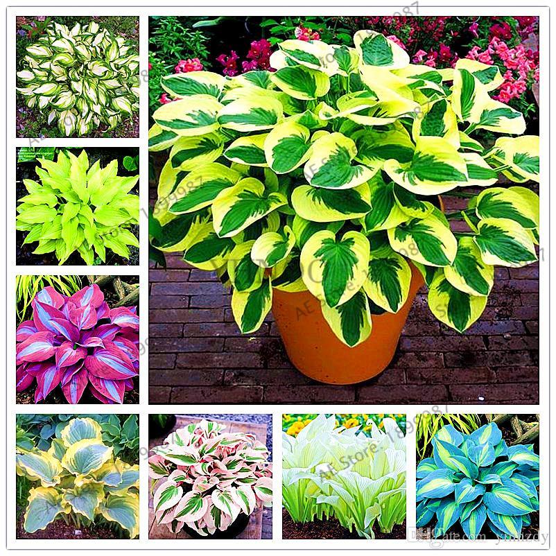 2019 Bag Beautiful Hosta Plants Perennials Lily Flower Shade Hosta