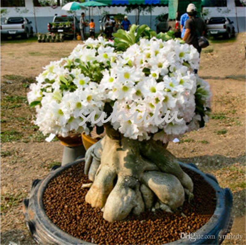 2 Pcs Rare White Desert Rose Seeds Adenium Obesum Bonsai Flower Seeds  Adenium Double Petals Potted Plant Brave Heart So Pure