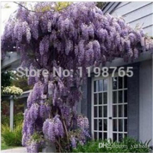 2020 Hot Selling Floribunda Chinese Purple Wisteria Tree Vine