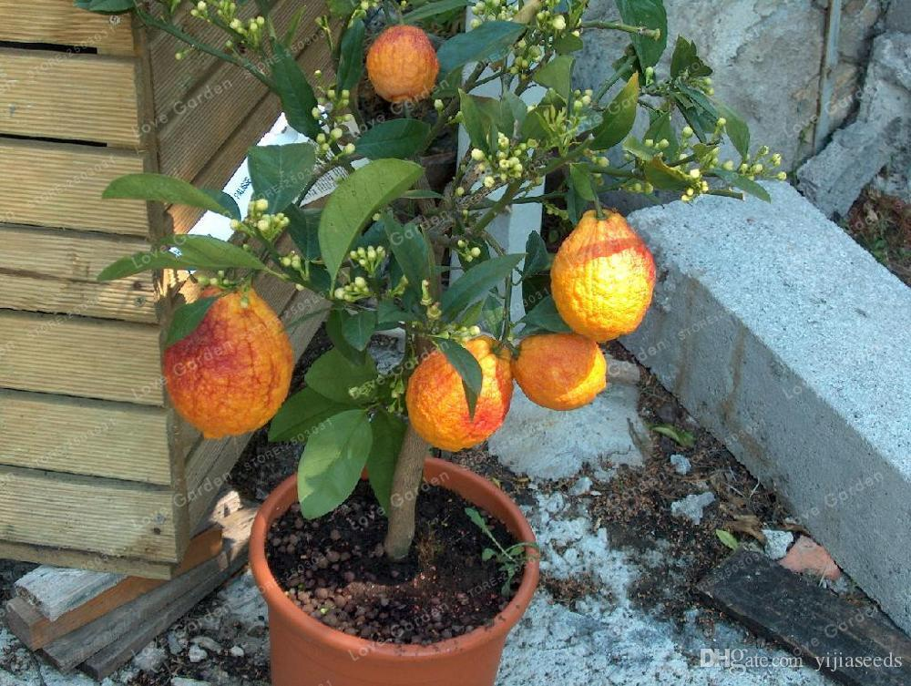 /BAG red lemon tree also is Blood Orange Organic fruit seeds bonsai red lime seeds healthy food home garden plant pot