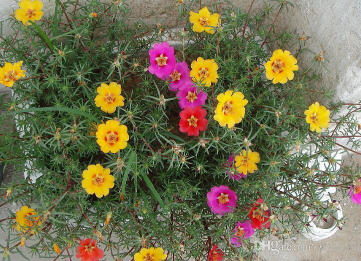 1 Orijinal Paketi 200 Tohumlar Güneş bitki, Ev Bahçe Moss Gül Portulaca Grandiflora Çiçek Tohumları