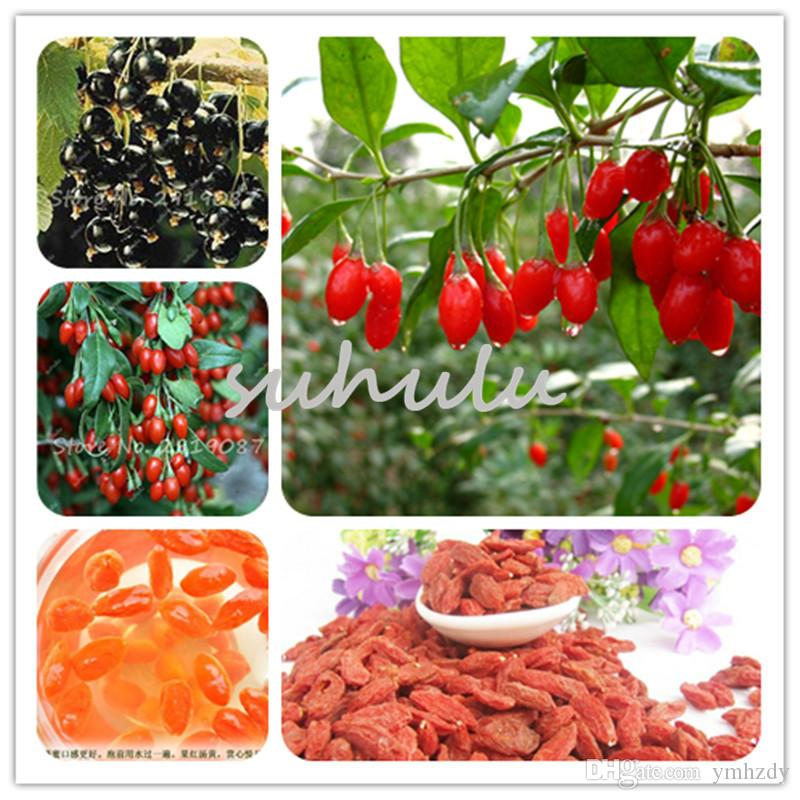 50 Seeds Himalayan Goji Berry Seeds Wolfberry Most Popular