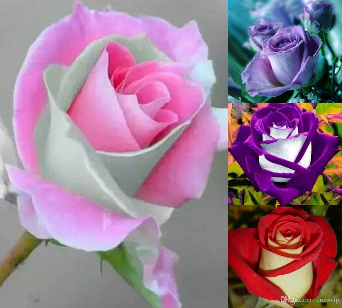 Sale Rainbow Rose Seeds 100 Seeds Package Color Garden Plants