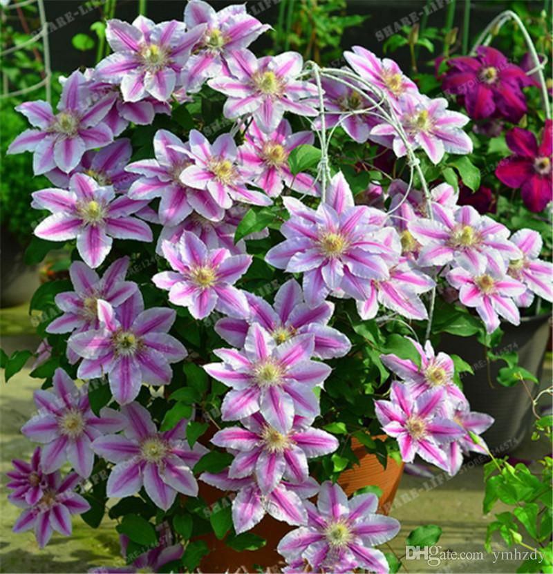 2019 Mixed Clematis Seeds Flower Clematis Vines Bonsai Perennial