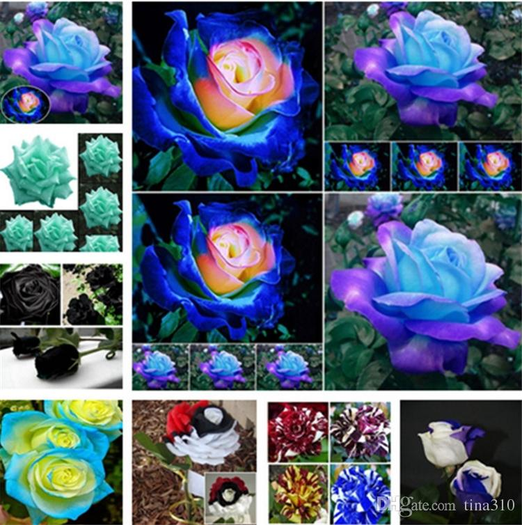 Patio Rose Samen Garten Supplie, blau , meteor, rot, schwarz, rose, hellblau, Regenbogen Rosen Blumen Garten Liefert I183