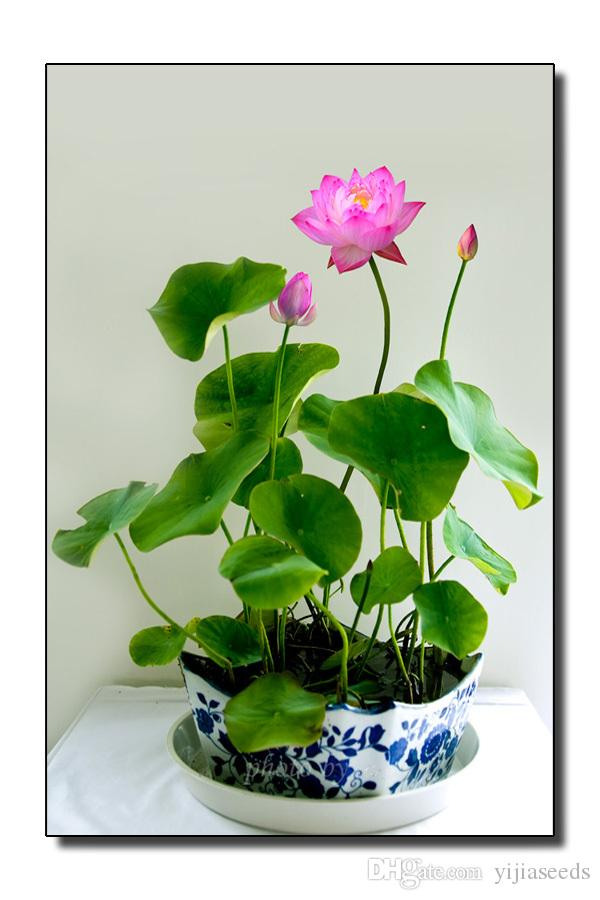 Flower Seeds Bowl Lotus Flower Hydroponic Aquatic Plants Lotus Seeds