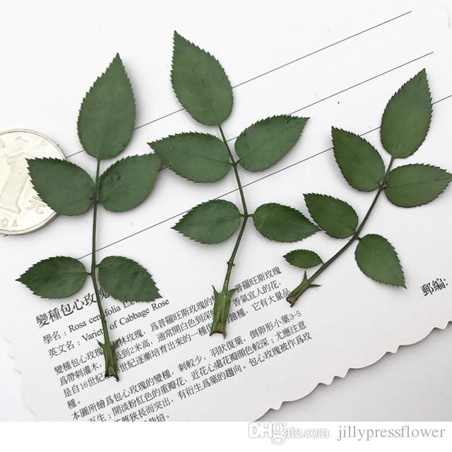 Satın Al 2018 Boya Yeşil Gül Yaprak Kuru Doğal Gerçek Basın Teknik