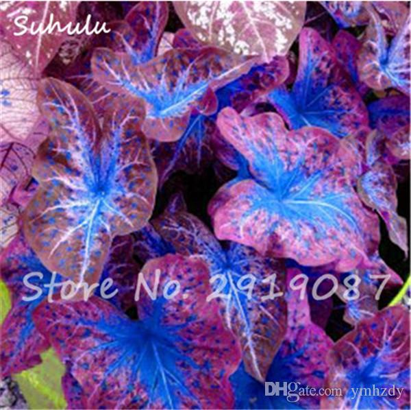 50 Adet Sıcak Caladium Tohumları Çok Yıllık Çiçek Bahçe Saksı Tohumları Tayland Caladium DIY Ev Bahçe Bonsai Bitki Tohumları
