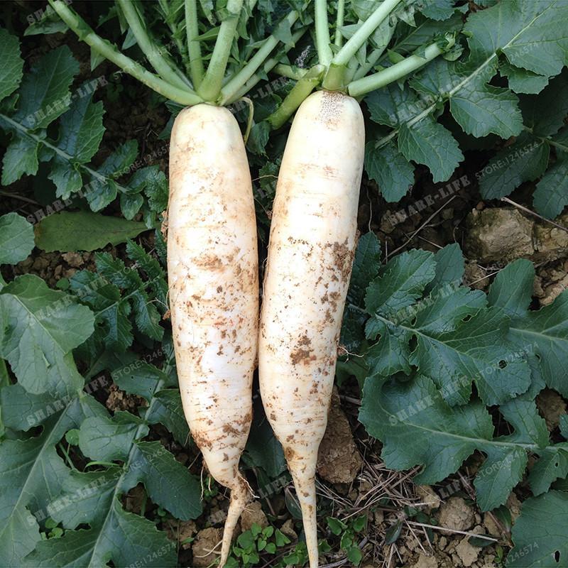 Semi di ravanello cinese coltivati sul seme di verdure biologiche di famiglia ravanello bianco piante da giardino casa 30 semi / sacchetto