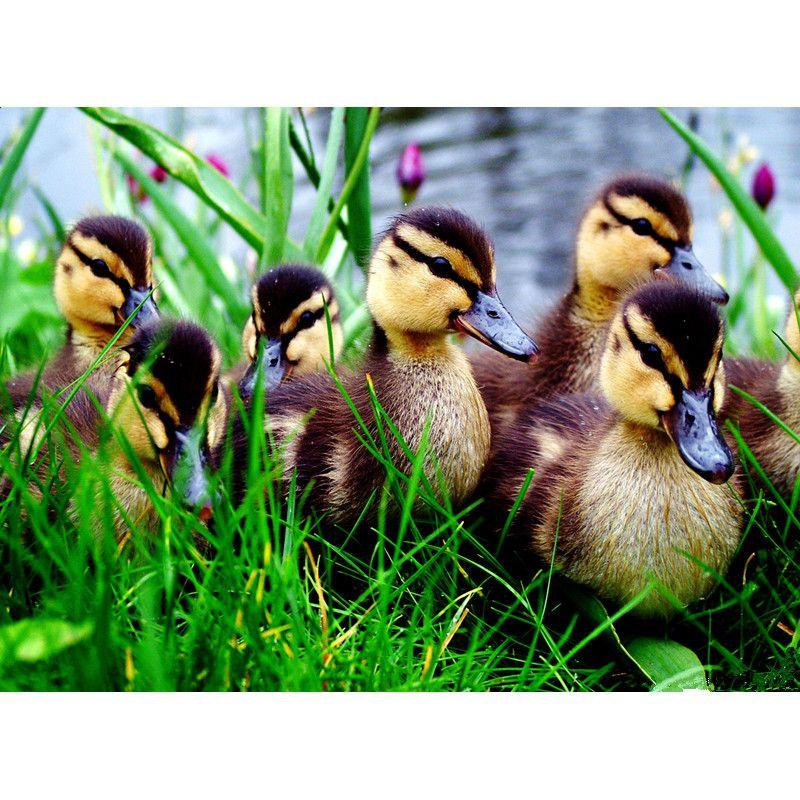 Satın Al Bir Grup ördek Yavrusu çapraz Dikiş Elmas Nakış Ev