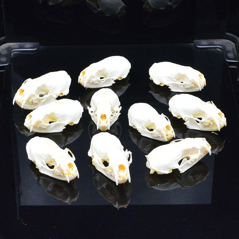 Реальные черепа норки, точные животные образцы, черепа подарков черепа
