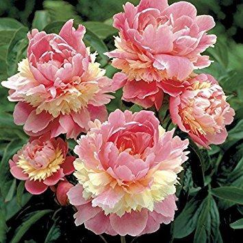 Sorbet Bareroot Peony, 2-3 Eye, Great for Fall Planting! root bulb not seed