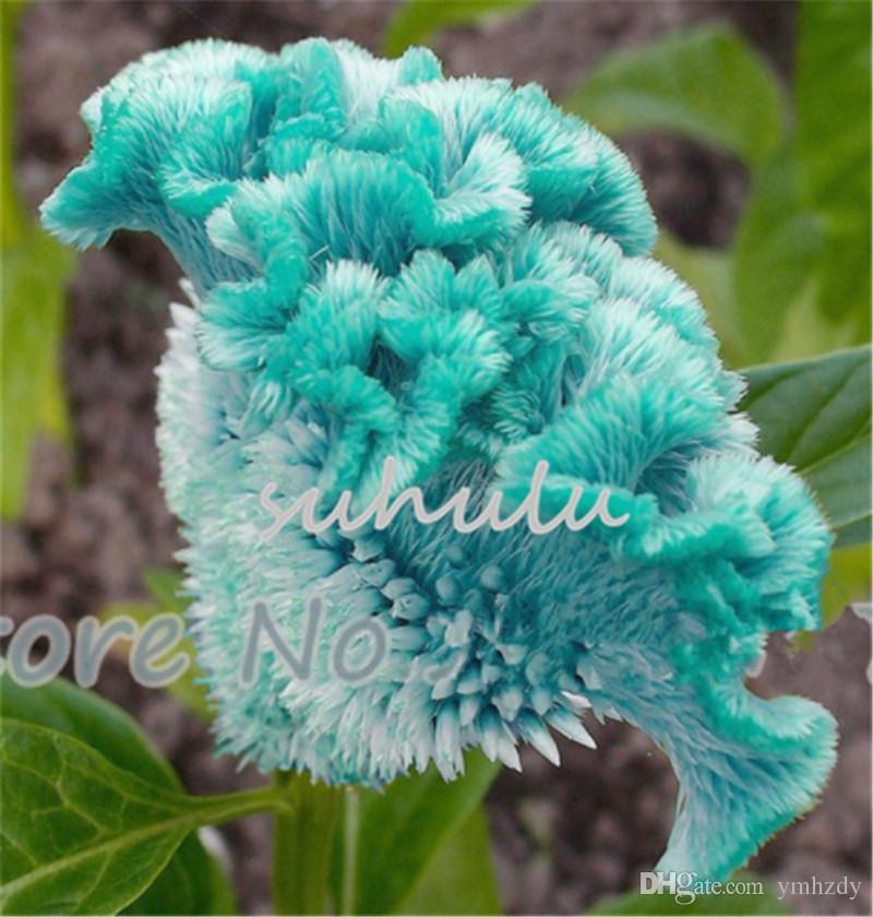 2019 Blue Cockscomb Seeds Celosia Spicata Plantcolorful Bonsai