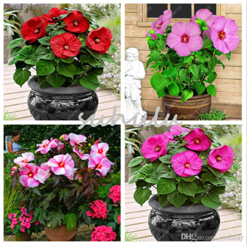 100 Pcsbag Hibiscus Flower Seeds Giant Bonsai Hibiscus Seed Balcony Potted Flower Seeds Dwarf Plant Easy Grow For Home Garden