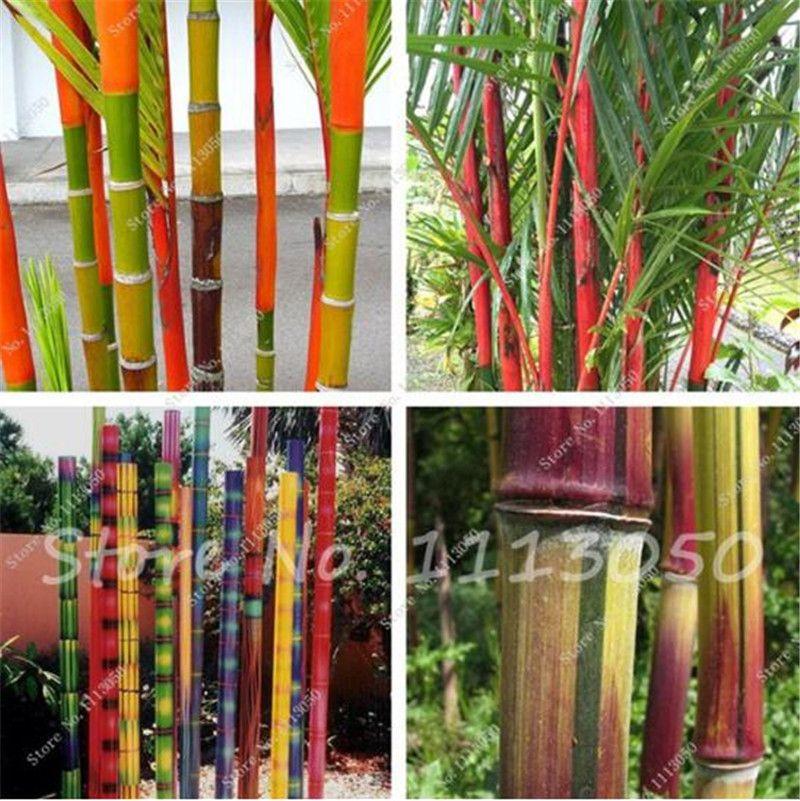 2019 New Arrival Bamboo Seeds Rare Giant Moso Bamboo Bambu