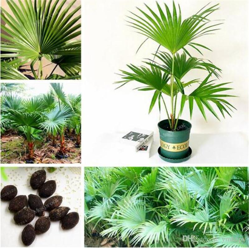 2018 Trachycarpus Fortunei 10 Seeds Outdoor Perennial Plant Palm ...