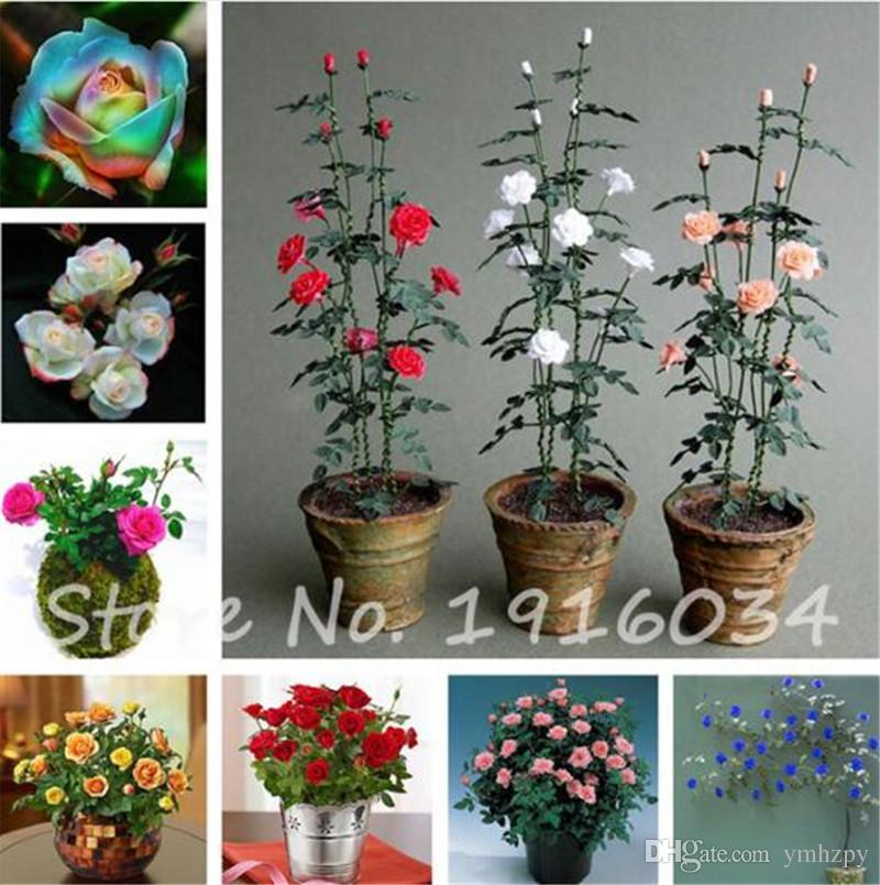 Bag Mini Rose Tree Bonsai Seed Beautiful Yard Flower Easy To Grow