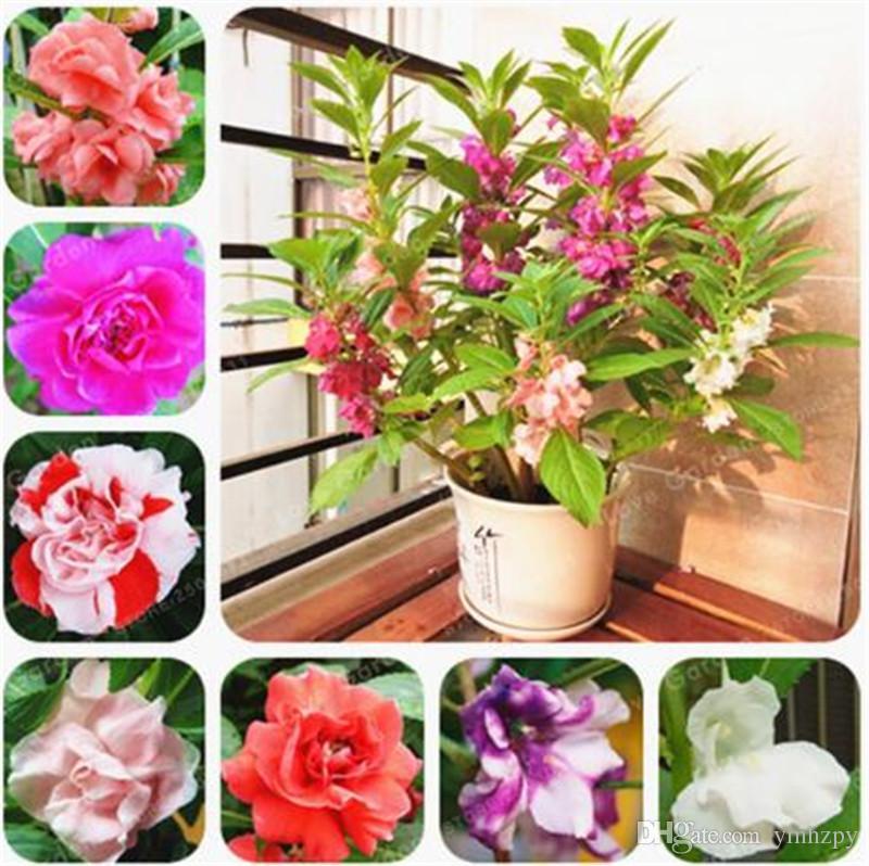 100 Pcs Sac Impatiens Balsamina Graines Jardin Balsam Graines Vivaces Plante De Fleur Bonsai Graines De Fleurs Pour La Maison De Jardin Plantes