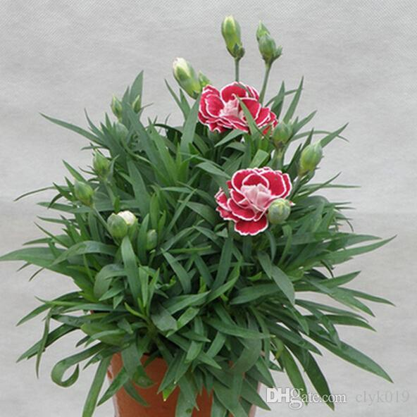 Carnations Seeds Cut Carnation Perennial Mixed Color Flower Seed