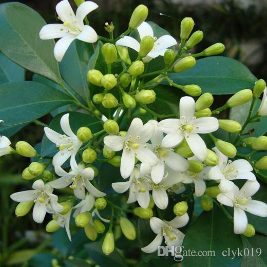 2019 2018 New Murraya Seedsjasmine Shrub With Fragrant White Flower
