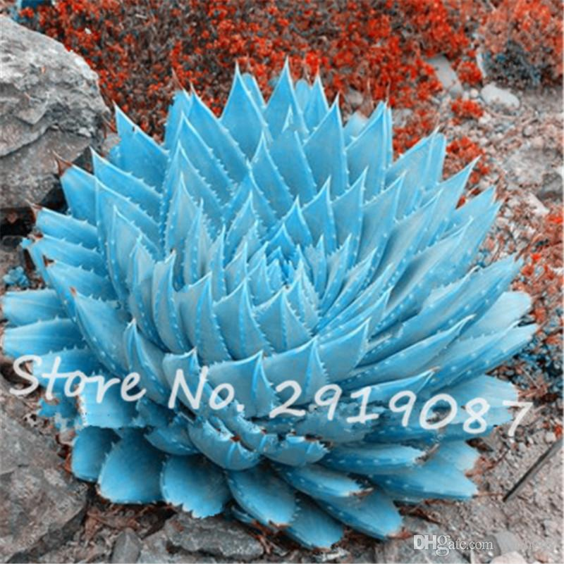 2018 /Bag Rare Blue Cactus Seeds Variety Exotic Flowering Perfect Color  Cacti Rare Cactus Aloe Seed Office Plant Succulent Garden Planting From  Ymhzdy, ...
