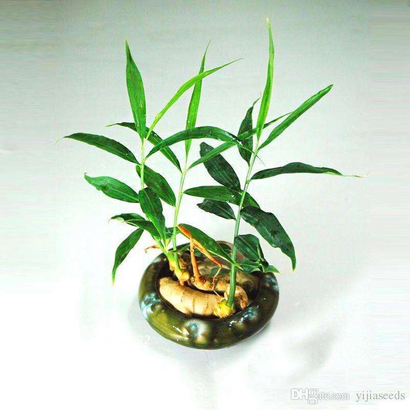 New Arrival!Ginger Seeds Balcony Vegetables Potted Bonsai Plant Seeds Four Seasons Zingiber Seeds Plants ,#XOYTND