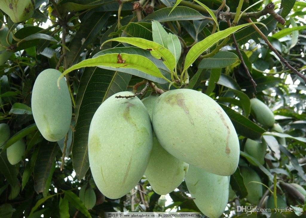/bag mango seeds,mini mango tree seeds,bonsai tree seed,Organic fruits and vegetables seeds,pot for home garden planting