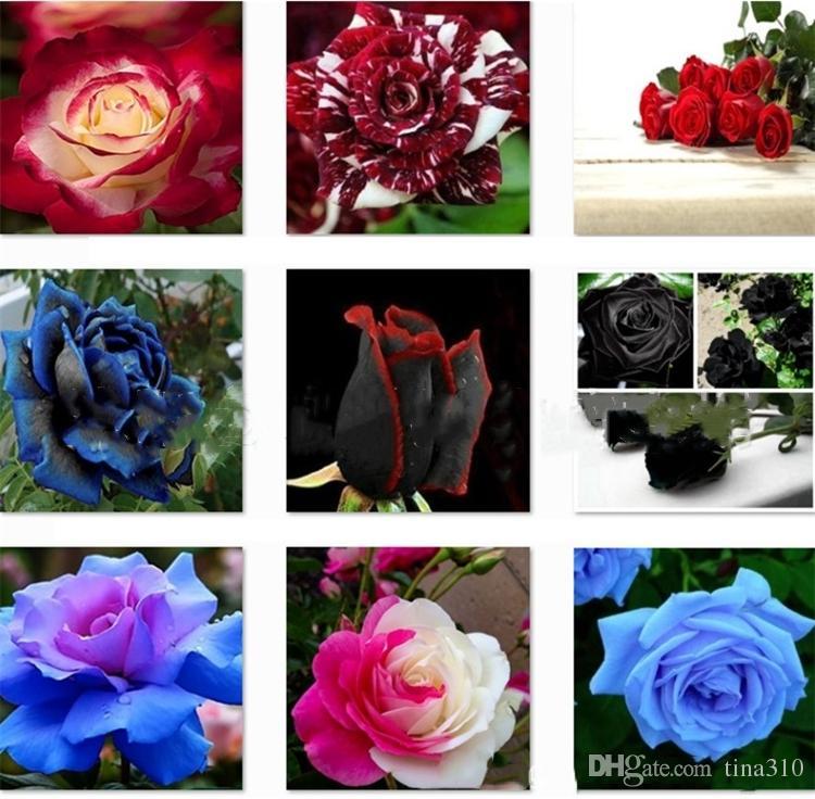 Patio Rosensamen Garden Supplie, blau, Meteor, rot, schwarz, rosa, hellblau, Regenbogenrosenblüten Garden Supplies I183