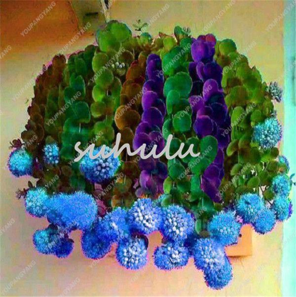 Les meilleures ventes de Succulentes rares Graines Mélangé Cactus Flower Garden Seeds arc-en-pourpre Cactus-oignon Bonsai Fleurs Plantes graines fraîches Air