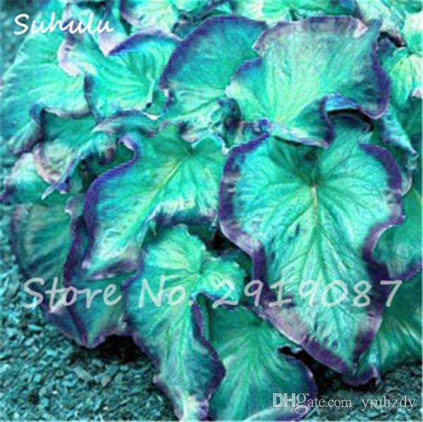 Hot Caladium Seeds of Perennial Flower Garden Potted Seeds Thailand Caladium DIY Home Garden Bonsai Plant Seeds