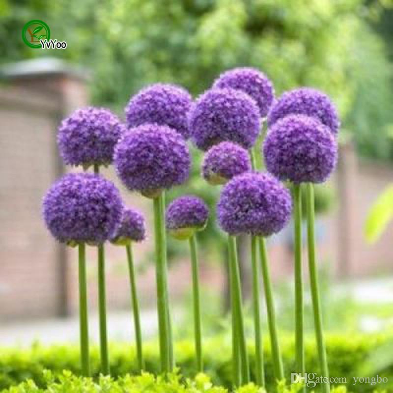 purple Giant Allium Giganteum Beautiful Flower Seeds Garden Plant the rare garden flower seeds for flower pot planters J00