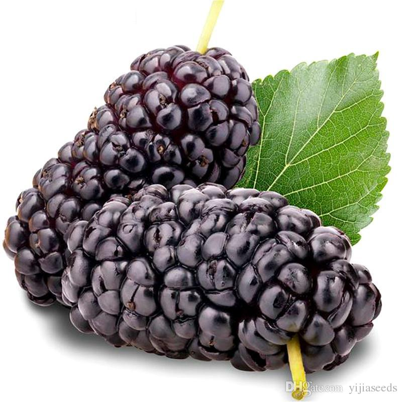 /bag black mulberry seeds,mulberry tree seeds,Organic Heirloom vegetable fruit seeds,sweet and heathy, for home garden