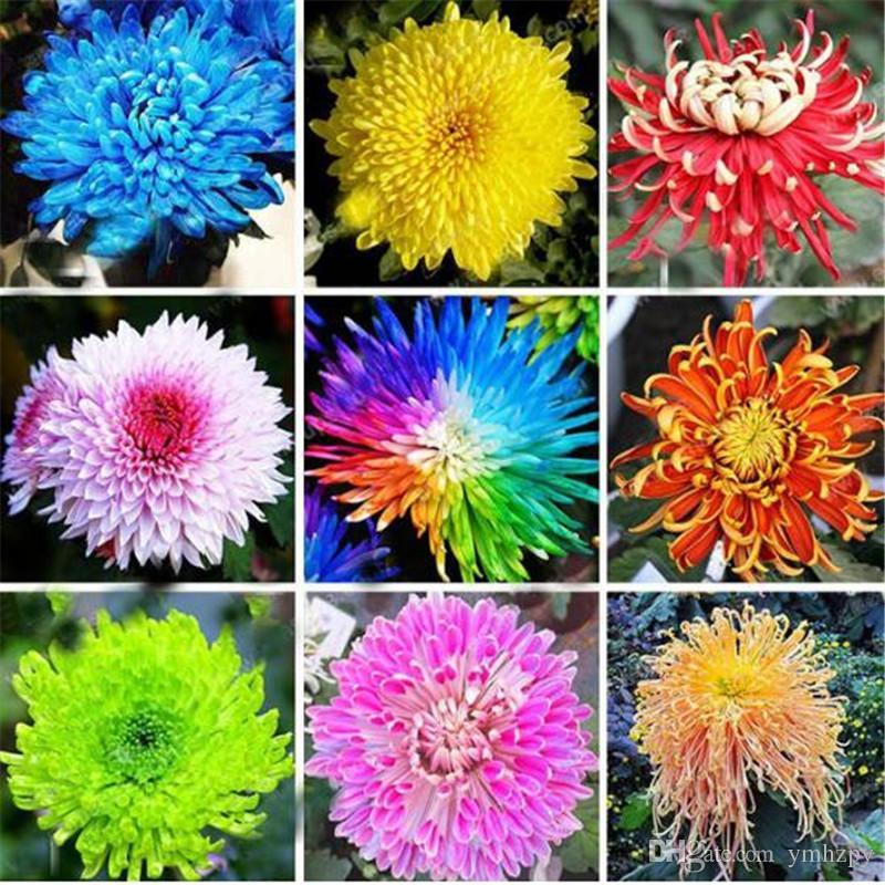 2019 Chrysanthemum Seeds Chrysanthemum Perennial Flowers Beautiful