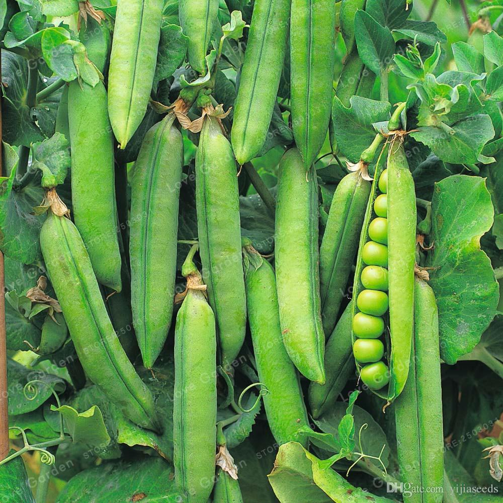 /bag Pea Seeds ~Organic Super Sweet Green Arrow bean seeds ~ Organically Grown . Heirloom seeds vegetables ,garden plant