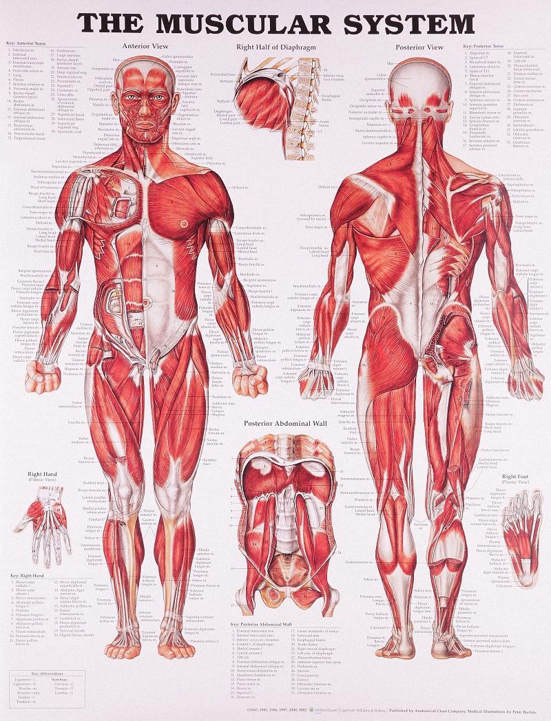 Großhandel Vintage Anatomie Des Menschen Poster Kraftpapier Malerei ...