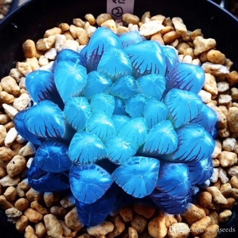 /Bag Yulu Succulent Seeds Mixed Beauty Lotus Lithops Pseudotruncatella Pot Flower Extremely Fleshy Indoor Bonsai Garden