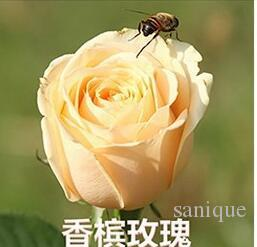 New Varieties Rose Flower Seeds 50 Seeds Package Flower Seeds For Home Garden Plants