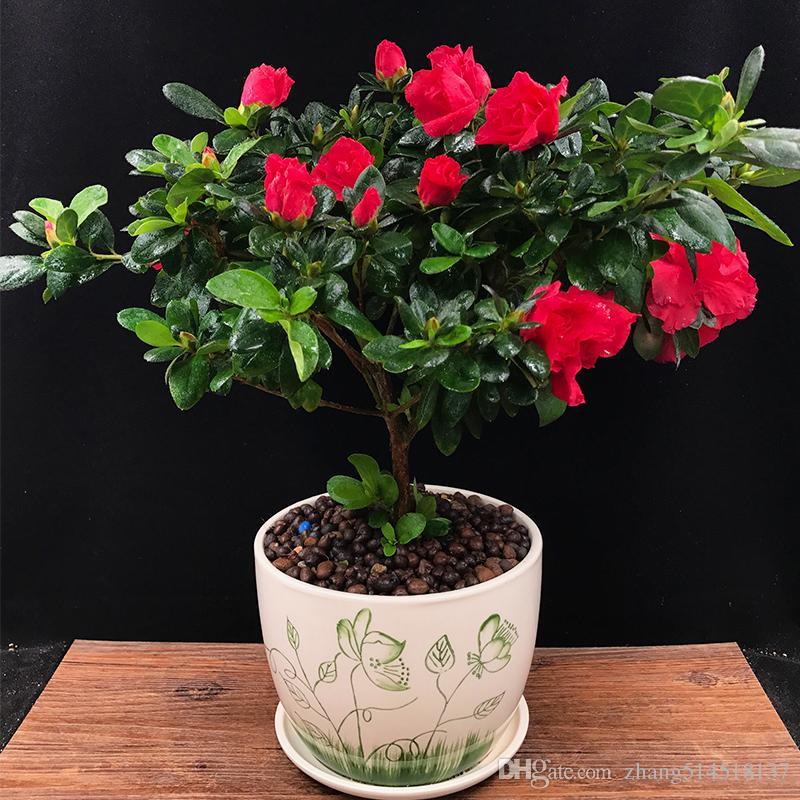 Grosshandel Rhododendron Samen Bluhen In Vier Jahreszeiten Indoor