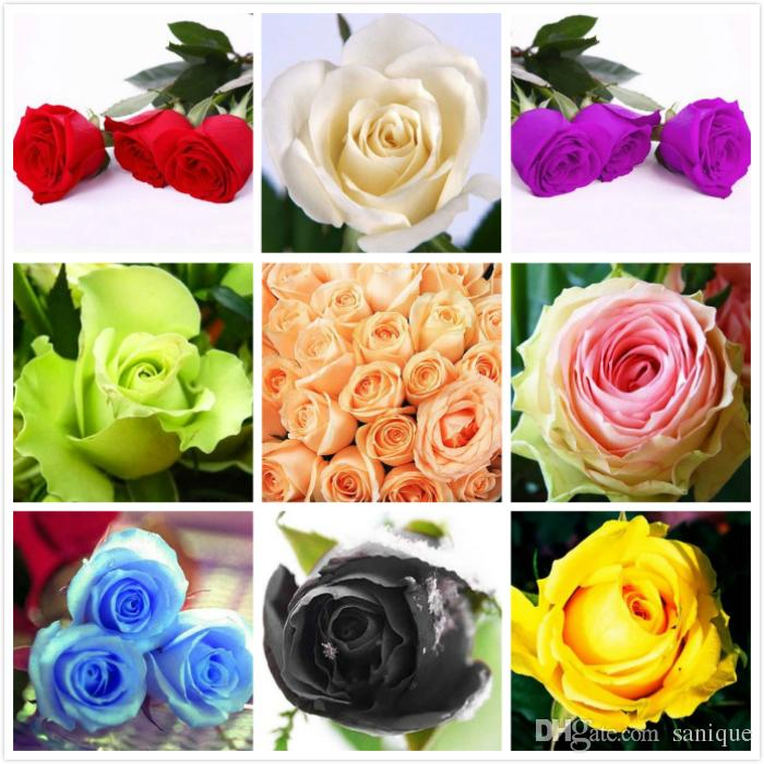 Wholesale Red Blue Colors Rose Flower Seeds 30 Seeds Package Flower Seeds Home Garden Plant
