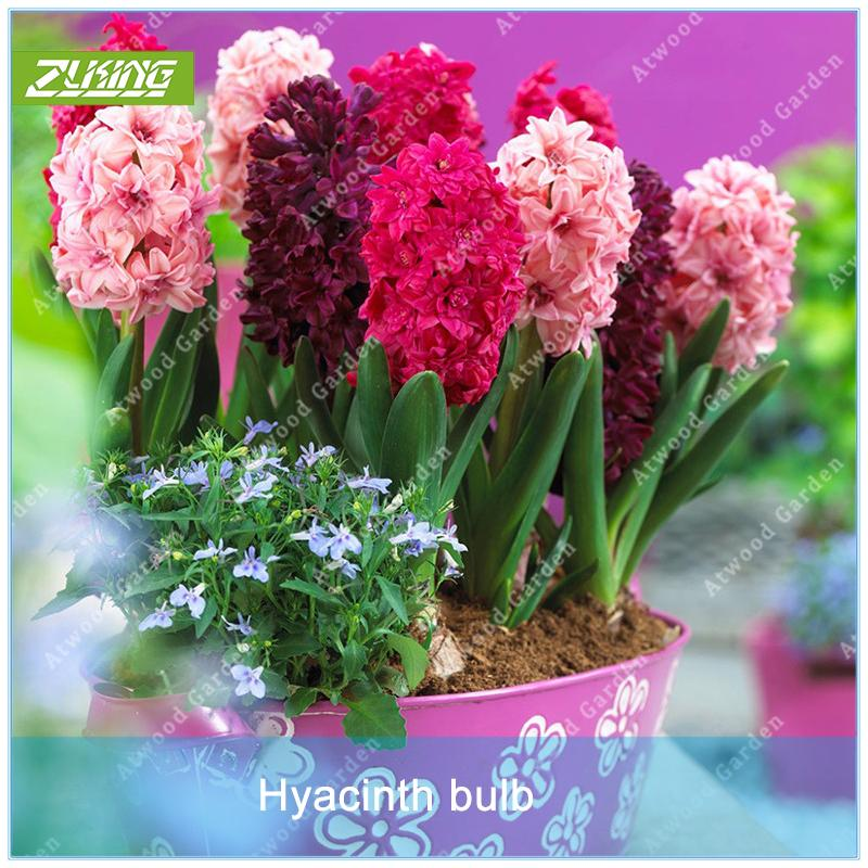2018 Cheapest Hyacinth Flower Bulb Garden Supplies Bonsai Plant Not Seeds  High Germination Rate Diy Garden From Cstllmyyxgs, $1.0 | Dhgate.Com