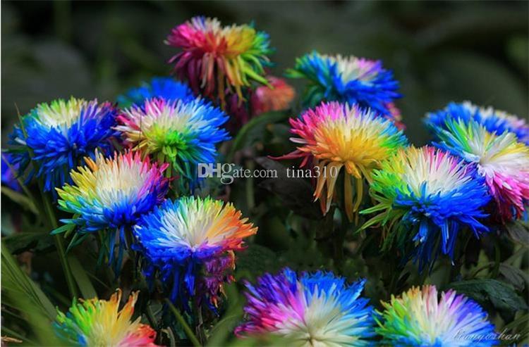 / bag Rainbow Chrisanthemum Flower Seeds Ornamental Bonsai, Rare Color, More Chrysanthemum Seeds Garden Flow Garden Flor Garden Supplies I186