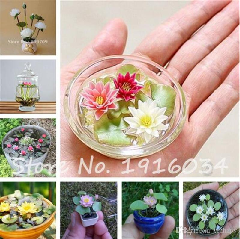 7e3281139e49 2019 Hot Sale Mini Lotus Seeds Hydroponic Plants Aquatic Plants Flower Pot Water  Lily Seeds Bonsai Balcony Flower Planting From Ymhzpy