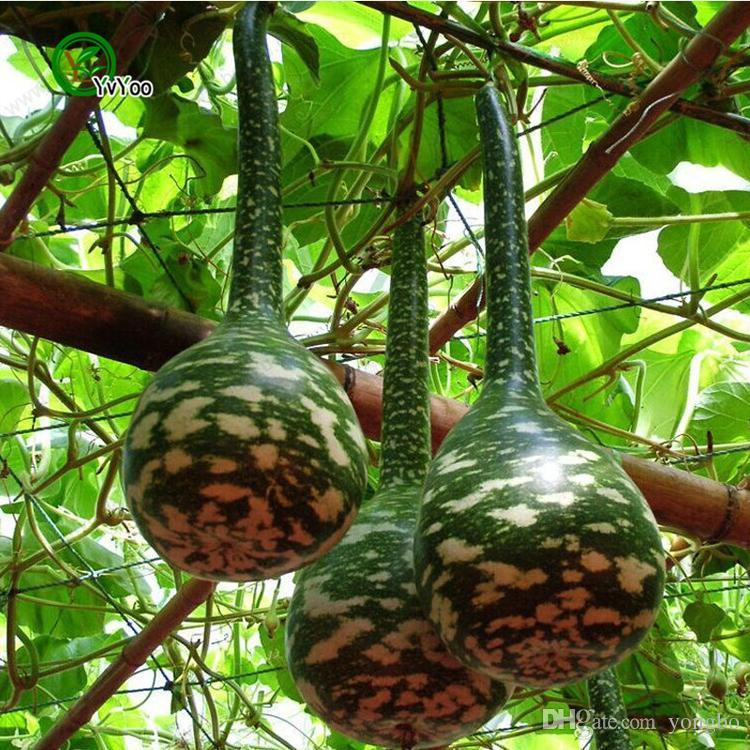 Şişe Kabak Tohumları bahçe bitkileri Bonsai organik meyve ve sebze tohumları 20 ADET K04