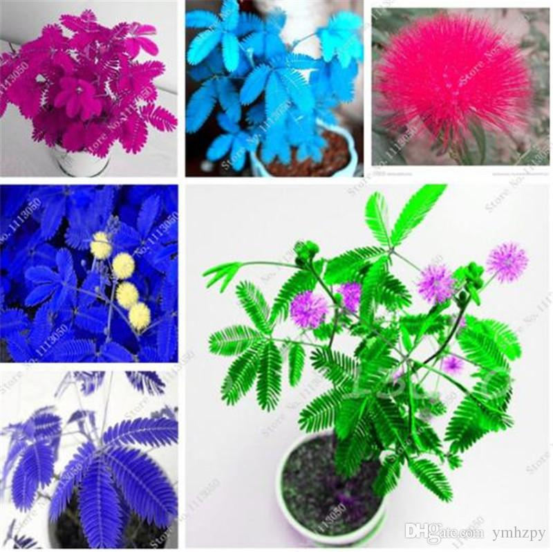 30 Pcs Mimosa Pudica Seeds , Balcony Flower Seed Potted Foliage Plants  Predict Earthquakes Fun Bashfulgrass Seeds Mixed Colors