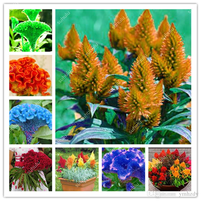 2019 Mixed Cockscomb Seeds Gorgeous Color Rare Species Bonsai Flower