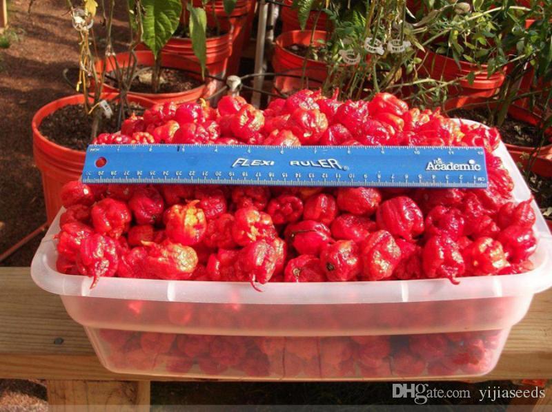 / sac New Rare graines Ghost Poivre Graines Inde Style Bhut Jolokia Graines Légumes frais rares
