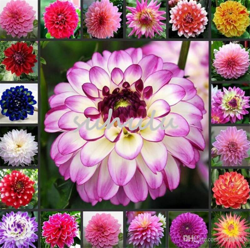 2018 /Bag Dinner Plate Rainbow Dahlia Flower Dahlia Seeds Charming Bonsai Flower Seed So Fragrant And Beauty High Germination Garden Plant From Ymhzdy ... & 2018 /Bag Dinner Plate Rainbow Dahlia Flower Dahlia Seeds Charming ...