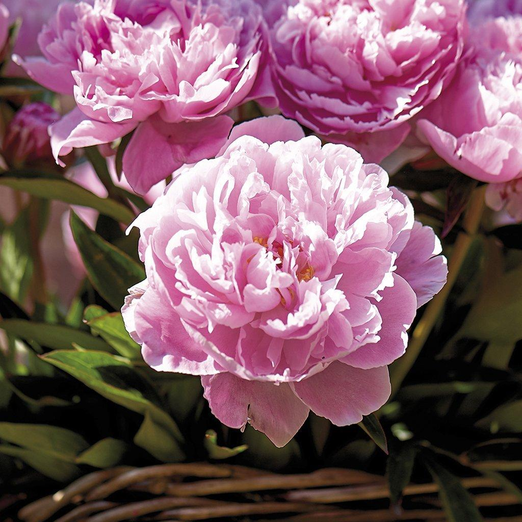 Bernhardt Peonies Roots (Set of 3), Pink Peony Bulb Not Seed